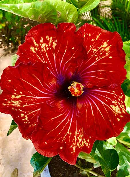 Hibuscus Flower Red and Yellow