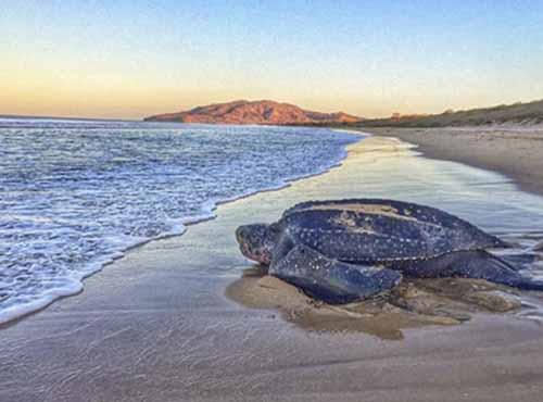 Leatherback Mama Turtle Returning to Sea